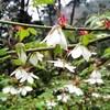 高尾山の植物 その5(モミジイチゴ)