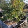 菜園の一角に落葉樹林があれば落ち葉ひろいしなくてよくね、と考えるのは邪道だろうか