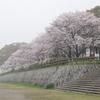 海田町の桜