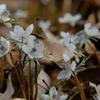 早春の花めぐりハイク・奥秩父の里山を彩る花々に出会う @四阿屋山