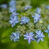 咲き始めたヤマアジサイ:今日からの6月
