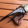 極太血統のヘラヘラ幼虫販売