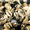 【能取湖アサリの潮干狩り】必要な道具とアサリとり方、砂抜きを解説