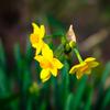足元咲いた水仙の 小咲き花の歌う冬歌