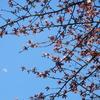 きょうの桜レポート 2017【第5回】