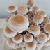 【しいたけ】家庭栽培に初挑戦(簡単です)|お部屋で椎茸栽培