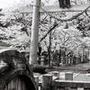 意富布良神社、里桜。モノクロ写真。