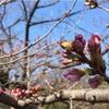 【お花見】3/22 代々木公園 桜の開花状況:開花はまだです (2017/3/22)