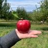 リンゴ狩り イン ニューヨーク【アップルピッキング】