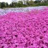 【千葉】富田さとにわ耕園で芝桜を見てきたよ