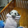 パンダボランデイア・ 中国ジャイアントパンダ飼育ボランティア