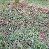 芝のカタバミ対策 芝生用除草剤 MCPP液剤 購入です
