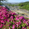 異例の早さで開花しているツツジ - 蹴上浄水場
