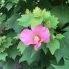 今年も芙蓉の花が咲き始めました。