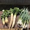 秋野菜の収穫と夏野菜の片付け