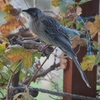 Wattlebirds and Butcherbirds