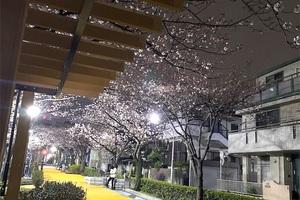 玄品浦安の桜❣️