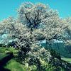 GIMP用プラグインスクリプト「Cross processing effect...」で、桜の写真をレトロっぽく緑を強めにしてみた。