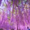 九尺藤が見頃の兵庫県白毫寺へ行ってみたら残念だった。