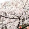 千秋公園桜2019 桜まつり・見頃時期・アクセス・駐車場