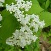 白いガマズミの花