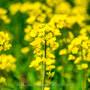 【NIKKOR Z 24-70mm f/2.8 S・大崎】ひまわりの丘の菜の花畑  April 2021
