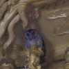 オオコノハズク(Collared Scops-Owl)