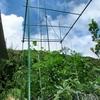 ミニトマト栽培記 支柱