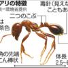 まさか?ヒアリ? アリの見分け方、あなたは分かりますか?