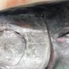 【激闘・巨大魚解体】ニュージーランド産・ミナミまぐろをおろしてみた