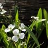 ナガバオモダカの花