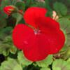(431) Pelargonium × hortorum