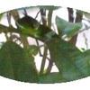 今秋のミドちゃん(ナガサキアゲハの幼虫)