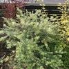 初心者にオススメの植物 庭木:ウエストリンギアの成長