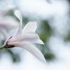 植物と友達になろう! VOL.02 「タムシバ」