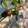 苺食べ放題!人生初のイチゴ狩り!