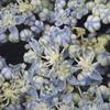 ブルースカイアジサイの花がこまかく咲く