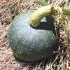 カボチャの収穫2