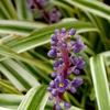 斑入りヤブランの花 2016 8月
