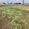 【硬盤破砕対策】再播種したセスバニアの様子【緑肥】