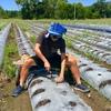 オーストラリア ファームジョブ 初めての歩合仕事 イチゴ枯れ苗 撤去作業