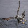 2019年2月17日の鳥撮り(2/2)-都下の河川