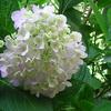 決して見捨てない心の大切さ!ー今日も咲いてくれた我が家の紫陽花!