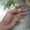 本場のカオマンガイはパクチーの根を使う?料理の香りはどうなるの?