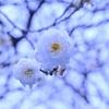 ⛩湯島天神の梅の開花状況✿