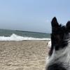 視線の先には・・・ボーダーコリーとの海辺散歩