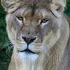 【LION】