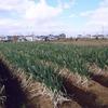 ネギ畑に足跡。何の足跡だろう?