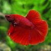 (熱帯魚)ベタ スーパーデルタテール オス(色おまかせ)(約3-4cm)(1匹)【水槽/熱帯魚/観賞魚/飼育】【生体】【通販/販売】【アクアリウム/あくありうむ】