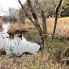 猫洞池にも川鵜